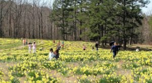 Head To The Top Of This Flower-Covered Mountain To Celebrate Arkansas' Daffodil Festival