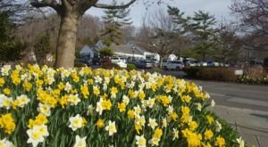 This Small Town In New York Erupts In Thousands Of Daffodils Each Spring