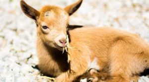 Pet Oodles Of Miniature Goat Kids At Honey Sweetie Acres Near Cincinnati