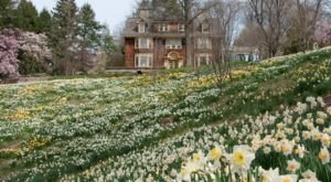 Walk Through A Sea Of Daffodils On Daffodil Day At New Jersey's Reeves-Reed Arboretum