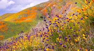 Predicted Rainfall In Southern California Could Result In Another Super Bloom This Year