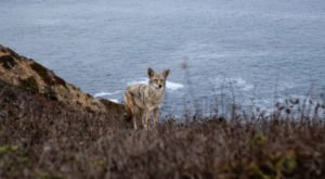 Caused By A Genetic Mutation, Rare Blue-Eyed Coyotes Have Only Been Spotted In Northern California