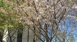 The Nashville Cherry Blossom Festival Will Have Hundreds Of Trees In Bloom This Spring