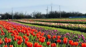 A Trip To Texas' Neverending Tulip Field Will Make Your Spring Complete