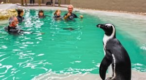Swim With Penguins At Tanganyika Wildlife Park In Kansas