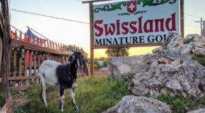 Play Putt Putt Alongside Some Goats At Swissland Miniature Golf In Wisconsin