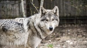 Spend The Day With Hybrid Wolves At Howling Woods Farm In Jackson, New Jersey