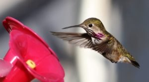 Keep Your Eyes Peeled, Thousands Of Hummingbirds Are Headed Right For Washington During Their Migration This Spring