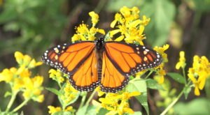 Watch In Awe As Millions Of Monarch Butterflies Invade Maine Later This Spring