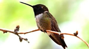 Keep Your Eyes Peeled, Thousands Of Hummingbirds Are Headed Right For Montana During Their Migration This Spring