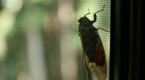 Prepare Your Ears For Millions Of Extra Cicadas In Virginia This Spring