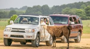 Explore The Wild Without Leaving Your Car At Safari Wild, A Drive-Thru Safari Park In Mississippi