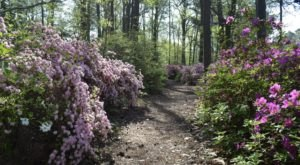 Walk Through A Sea Of Azaleas At The Norfolk Botanical Garden Azalea Walk In Virginia