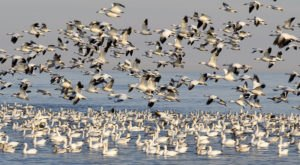 As Many As 60,000 Migrating Geese Are Filling The Skies Over Idaho's Fort Boise Wildlife Area