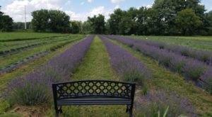 The Annual Lavender Harvest Festival At Lavender Lane Near Detroit Belongs On Your Bucket List