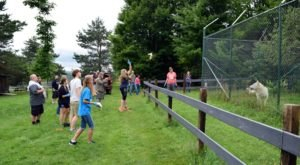 Spend The Day With Gray Wolves And Arctic Foxes At The Wolf Mountain Nature Center In Smyrna, New York