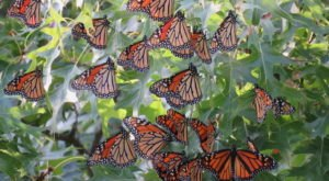 Millions Of Monarch Butterflies Are Headed Straight For New Hampshire This Spring