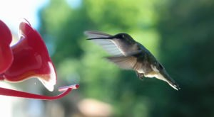 Keep Your Eyes Peeled, Thousands Of Hummingbirds Are Headed Right For Kentucky During Their Migration This Spring