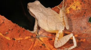 Thousands Of Singing Spring Peepers Are A Welcome Sound Of Normalcy Here In West Virginia