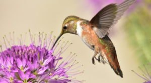 Keep Your Eyes Peeled, Thousands Of Hummingbirds Are Headed Right For South Dakota During Their Migration This Spring