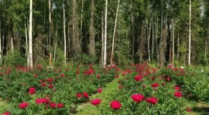 Walk Through A Sea Of Peonies This Summer At Alaska Blooms Peony Farm
