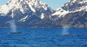 Spot Hundreds Of Gray Whales As They Swim Through Our Alaskan Backyard This Month During Their Migration