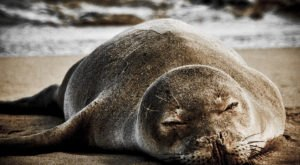 7 Things You Might Not Have Known About One Of Hawaii's Only Endemic Mammals, The Monk Seal