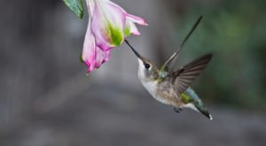 Keep Your Eyes Peeled, Thousands Of Hummingbirds Are Headed Right For Iowa During Their Migration This Spring