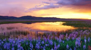 Every Spring, The Camas Prairie Centennial Marsh In Idaho Is Blanketed By Blossoming Lilies