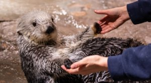 The Aquarium In Georgia That's Live Streaming Sea Otters For Your Enjoyment