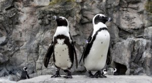 Watch Penguins Play On This Livestream From Mystic Aquarium In Connecticut