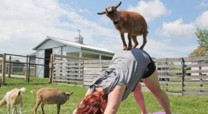 Try The Goat Yoga At Wildroot Cove In Minnesota For A One-Of-A-Kind Experience You'll Never Forget