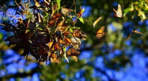 Watch In Awe As Millions Of Monarch Butterflies Invade Mississippi This Spring