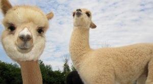 Pet Over 50 Alpacas At Gibraltar Bay Alpaca Farm In Michigan