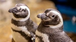 Live Steam The Penguins At The Shedd Aquarium In Illinois As They Build Their Nests