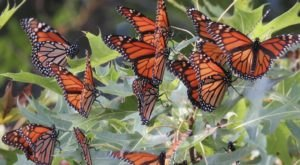 Watch In Awe As Millions Of Monarch Butterflies Invade Indiana Later This Spring