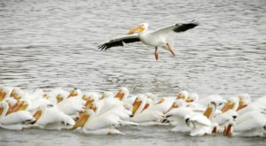 Keep Your Eyes Peeled, Thousands Of Pelicans Are Headed Right For Utah During Their Migration This Spring