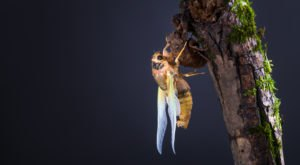 Prepare Your Ears For Millions Of Extra Cicadas In North Carolina This Spring