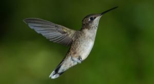 Keep Your Eyes Peeled, Thousands Of Hummingbirds Are Headed Right For Vermont During Their Migration This Spring