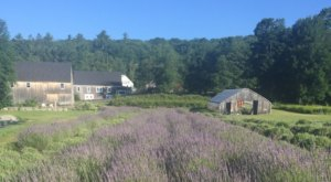 Get Lost In Glendarragh Farm, A Beautiful 26-Acre Lavender Farm In Maine