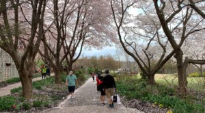 See Hundreds Of Cherry Blossoms In Bloom This Spring At Meadowlark Botanical Gardens In Virginia