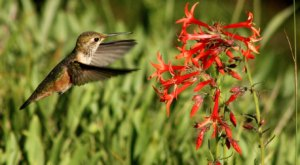 Keep Your Eyes Peeled, Thousands Of Hummingbirds Are Headed Right For Oregon During Their Migration This Spring