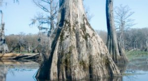 North Carolina's Bald Cypress Tree Is One Of The Oldest Living Things In America