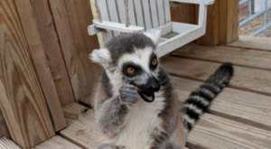 Play With Exotic Animals At It's A Zoo Life, A Large Privately Run Reservations-Only Zoo In North Carolina