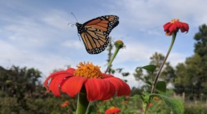 Watch In Awe As Millions Of Monarch Butterflies Invade South Carolina Later This Spring