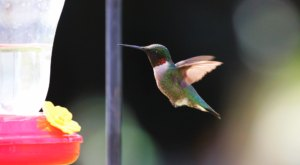 Keep Your Eyes Peeled, Thousands Of Hummingbirds Are Headed Right For New Jersey During Their Migration This Spring