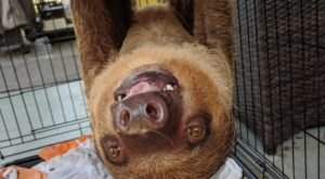 Play With Sloth And Anteaters At Charleston Anteater Sloth And Exotics In South Carolina For An Adorable Adventure