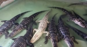 Insta-Gator Ranch Near New Orleans Is Home To More Than 2,000 Alligators