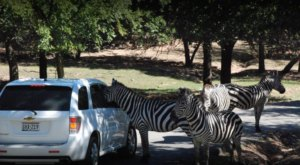 Enjoy Hundreds Of Exotic Animals At Arbuckle Wilderness Park, A Drive-Thru Safari In Oklahoma