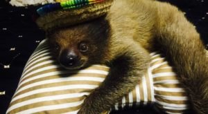 Enjoy A Once In A Lifetime Experience With A Sloth At Extreme Animals In Oklahoma